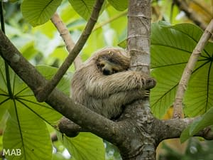 Three-Toed Sloth Sleeping