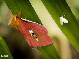 Moths on a leaf