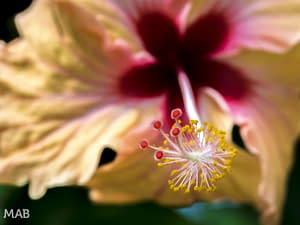 Hibiscus Up Close
