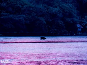 Aquatic Cow at Sunset