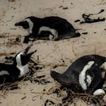 Nesting Penguins - Boulders Colony