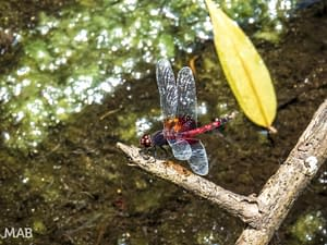 Lots of Dragonflies 3