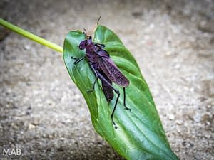 Huge Purple Grasshopper 2