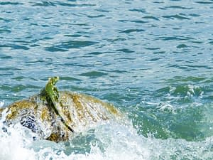 An Iguana Escapes Into the Sea