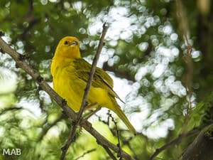 Name That Yellow Bird?