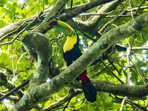 Tucan in a Tree